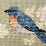 Eastern Bluebird - FO044